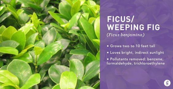 air-purifying-plant-greenery-inspiration-interior-design-ficus