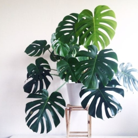 Split Leaf Philodendron Plant